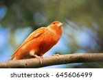 red canary  serinus canaria on... | Shutterstock . vector #645606499