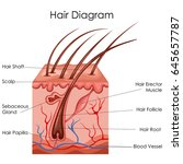 medical education chart of... | Shutterstock .eps vector #645657787