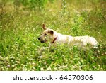 Stock photo happy dog play in green grass 64570306