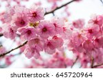pink cherry blossom branch | Shutterstock . vector #645720964