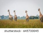 group of giraffes walking away... | Shutterstock . vector #645733045