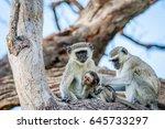 vervet monkey family sitting in ... | Shutterstock . vector #645733297