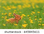 red rabbit of yellow flowers... | Shutterstock . vector #645845611