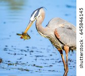 great blue heron catches fish. | Shutterstock . vector #645846145