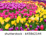 Field Of Colorful Tulips In...