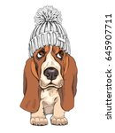 puppy basset hound in a knitted ... | Shutterstock .eps vector #645907711