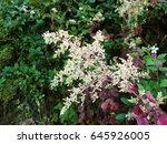 Close Up Of Iresine Flower Or...