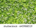 Woodruff  Galium Odoratum  Wit...
