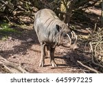 Babirusa  And Indonesian Wild...