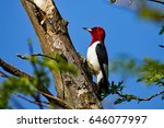 Red Headed Woodpecker On A Tree.