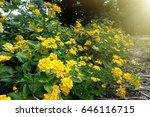 Colorful Lantana Camara Flowers