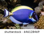 Small photo of Powder blue tang(Acanthurus leucosternon) swimming in the reef tank