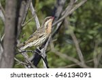 Small photo of Spiny-cheeked Honeyeater (Acanthagenys rufogularis). Cocoparra National Park, New South Wales, Australia