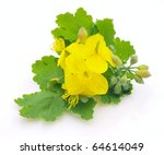 Celandine Flower With Leaves
