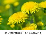Yellow Dandelion Flowers ...