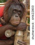 orangutan.   Shutterstock . vector #64622803