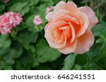Stock photo coral rose in the garden at gardens by the bay singapore 646241551