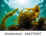 seaweed | Shutterstock . vector #646270207