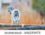 Small photo of Ring tailed lemur