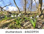 White Snowdrops In An Forest