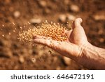 Sower's Hand With Wheat Seeds...