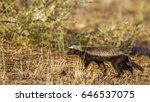 honey badger in kruger national ... | Shutterstock . vector #646537075