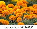 Lots Of Beautiful Marigold...