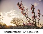 cherry blossoms in orchard by... | Shutterstock . vector #646558645