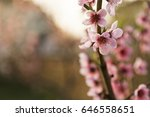 cherry blossoms in orchard by... | Shutterstock . vector #646558651