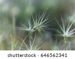 Small photo of Spike of ovate goatgrass (Aegilops geniculata), from the Mediterranean region.