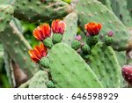 indian fig opuntia  barbary fig ... | Shutterstock . vector #646598929