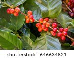 coffee plant with ripe coffee... | Shutterstock . vector #646634821