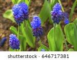 Blue Purple Grape Hyacinths...