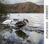 Wild Goose At Lake. Northern...