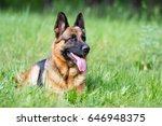 german shepherd dog in the grass | Shutterstock . vector #646948375