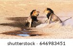 Stock photo hennie briedenhann in kgalagadi march two male lions fighting over mating rights 646983451