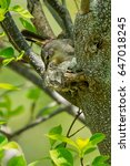 Small photo of Female American Redstart constructing her nest.