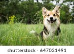 Stock photo happy and active purebred welsh corgi dog outdoors in the grass on a sunny summer day 647021491