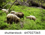 sheep in nature on meadow.... | Shutterstock . vector #647027365