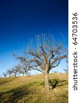 orchard with empty trees in the ... | Shutterstock . vector #64703536