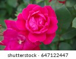 red rose flower closeup   Shutterstock . vector #647122447