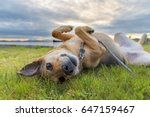 Stock photo cute dog rolling in grass at sunset 647159467