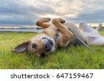Cute Dog On Leash Rolling In...