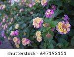 pink  white and yellow lantana... | Shutterstock . vector #647193151
