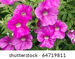 Pink Petunia Flower Plants In...