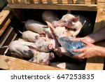 pigs  market  drink water from... | Shutterstock . vector #647253835