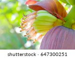Banana Flower With Green Young...