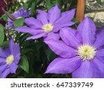 purple clematis flowers | Shutterstock . vector #647339749