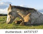 A Beautiful Appaloosa Foal...
