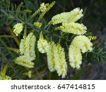 Small photo of Delicate soft Yellow Australian Wattle - Acacia Oxycedrus - in Bloom.